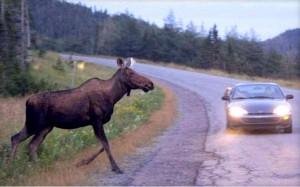 Ответственность водителя за сбитого лося